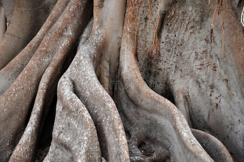 Riesige Baumwurzeln stockbilder