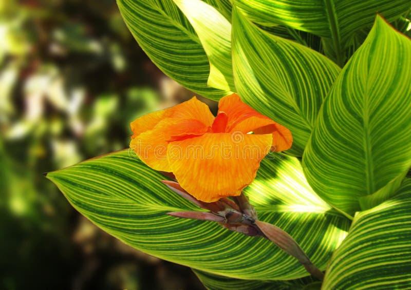Riesige Canna Blume lizenzfreie stockfotografie