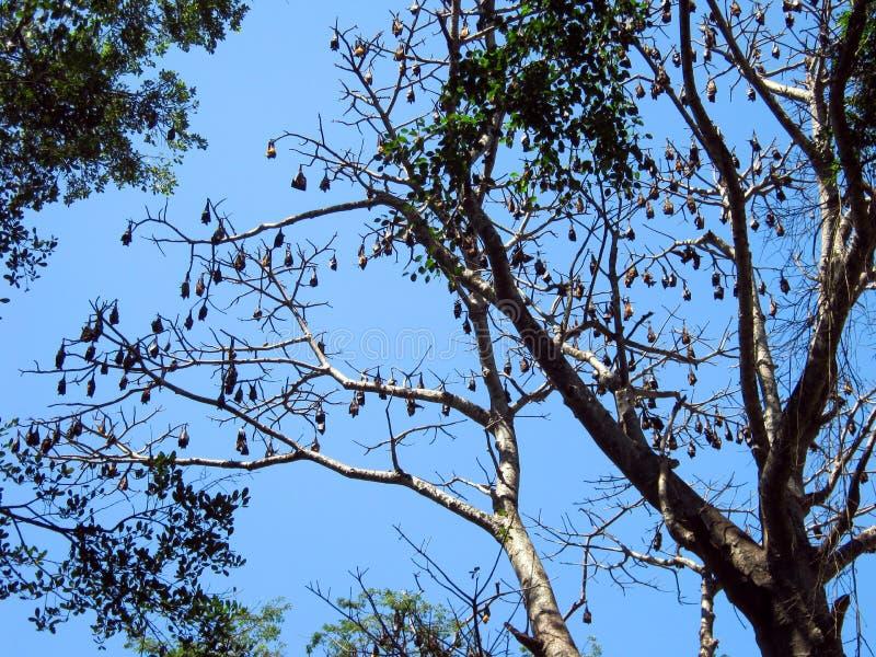 Riesige Flughunde, die auf einem Baumast stillstehen lizenzfreies stockfoto