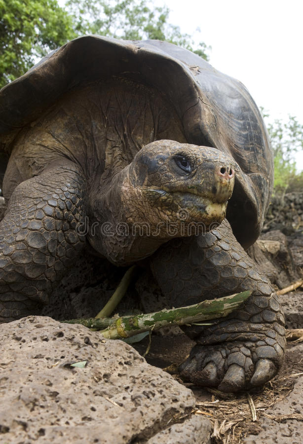 Riesige Galapagos-Schildkröte stockbilder