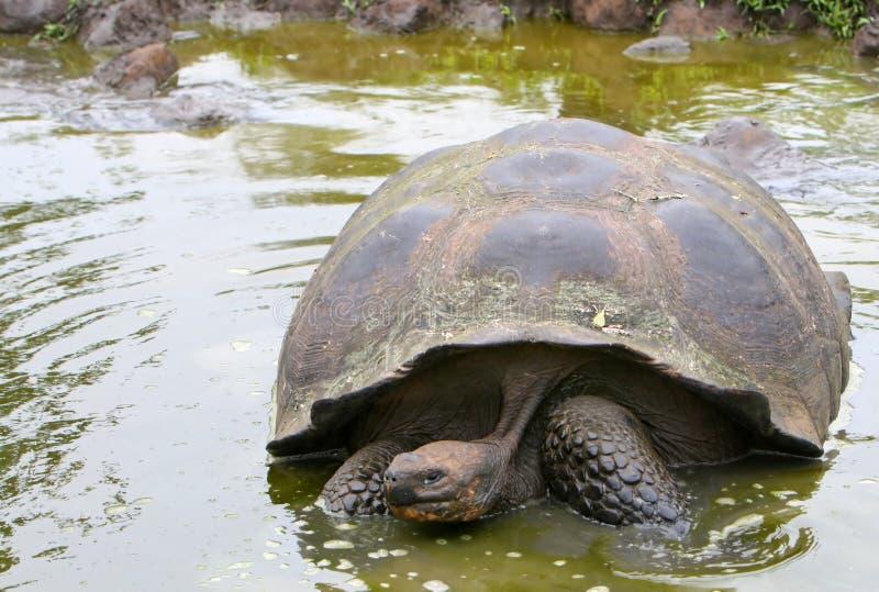 Riesige Galapagos-Schildkröte im Teich lizenzfreies stockbild