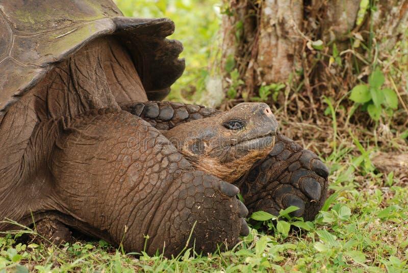 Riesige Galapagos-Schildkröte mit großen Füßen. stockfotografie