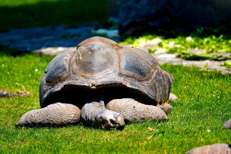 Riesige Galapagos Schildkröte Schlafens stockbild