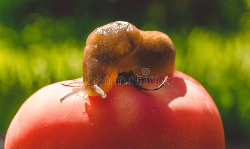 Riesige Gartenschnecke und reife rote Tomate Gemüsegarten des Sommers stockfoto
