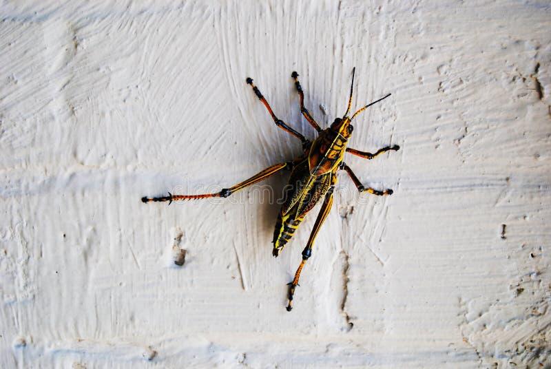 Riesige Heuschrecke befestigt zur weißen Wand stockfotografie