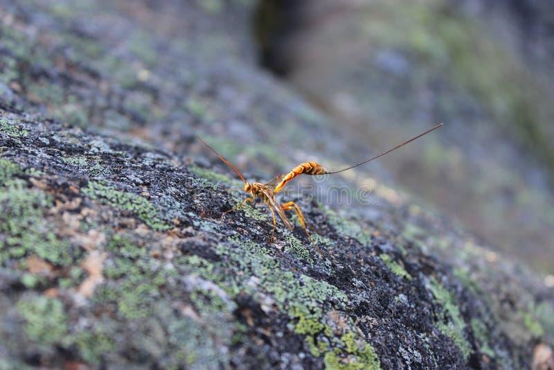 Riesige Ichneumon-Wespe auf Felsen stockfotos