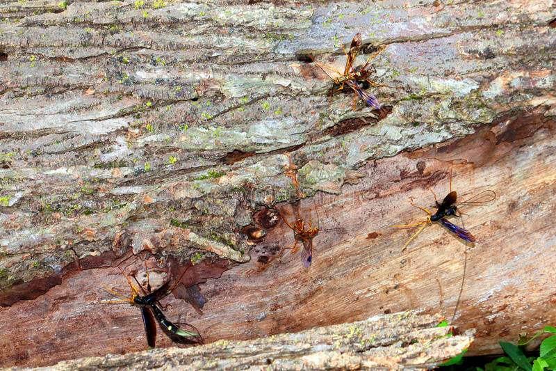 Riesige Ichneumon-Wespen in Illinois lizenzfreie stockbilder