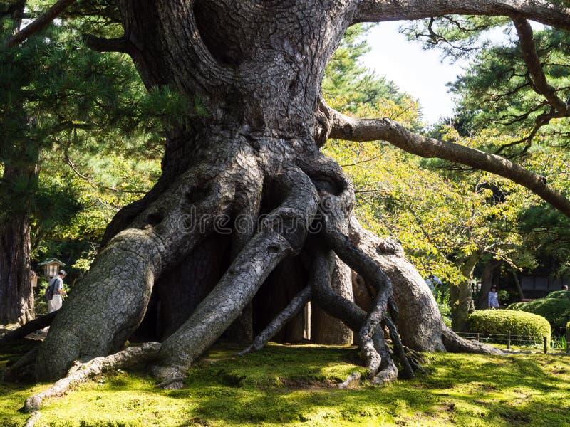 Riesige Kiefer im Kenrokuen-Japanergarten lizenzfreies stockbild