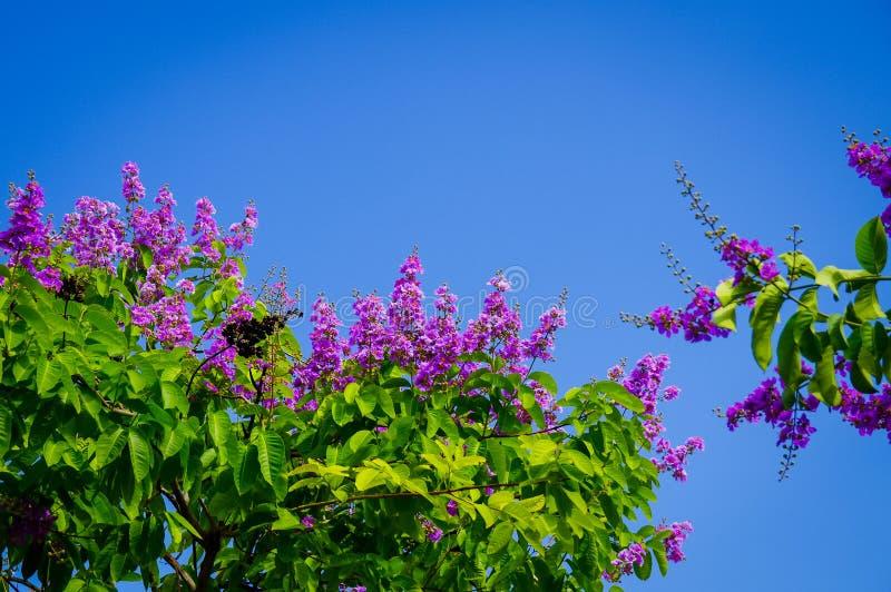 Riesige Krepp-Myrtenblumen mit blauem sky-9 stockbild