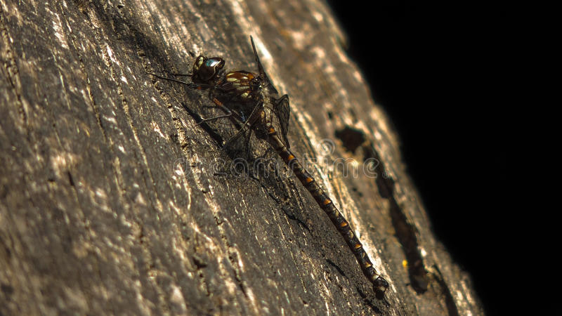 Riesige Libelle stockfotos