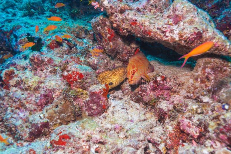 Riesige Muränen und roter Barsch, Malediven lizenzfreies stockbild