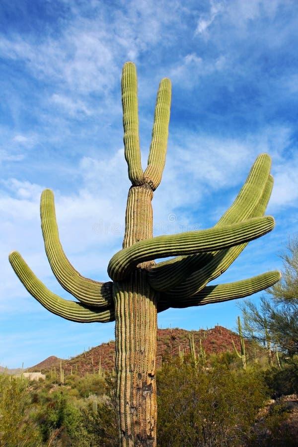 Riesige Saguaros, Saguaro-Nationalpark stockfotos