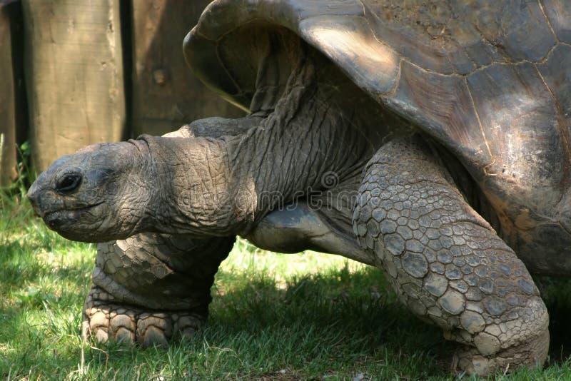 Download Riesige Schildkröte stockfoto. Bild von langsam, tier, reptil - 49716