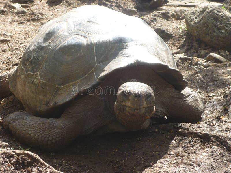 Riesige Schildkröte lizenzfreie stockfotografie