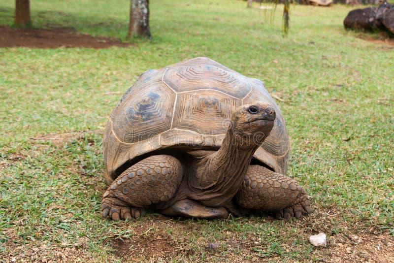 Riesige Schildkröte Aldabra stockbild