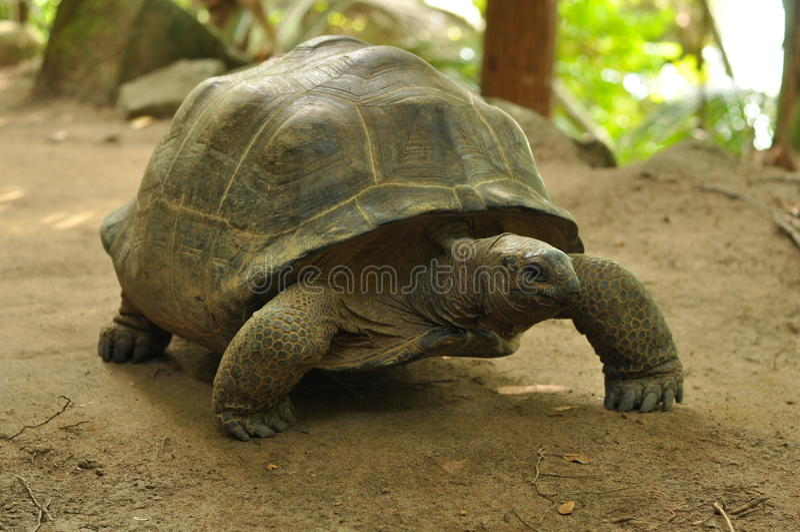 Riesige Schildkröte Aldabra lizenzfreies stockfoto