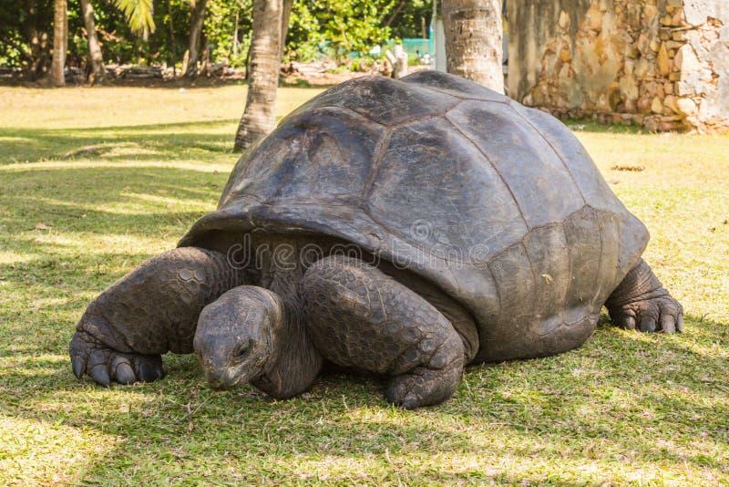 Riesige Schildkröte Aldabra, Schildkröte auf dem Strand stockbild