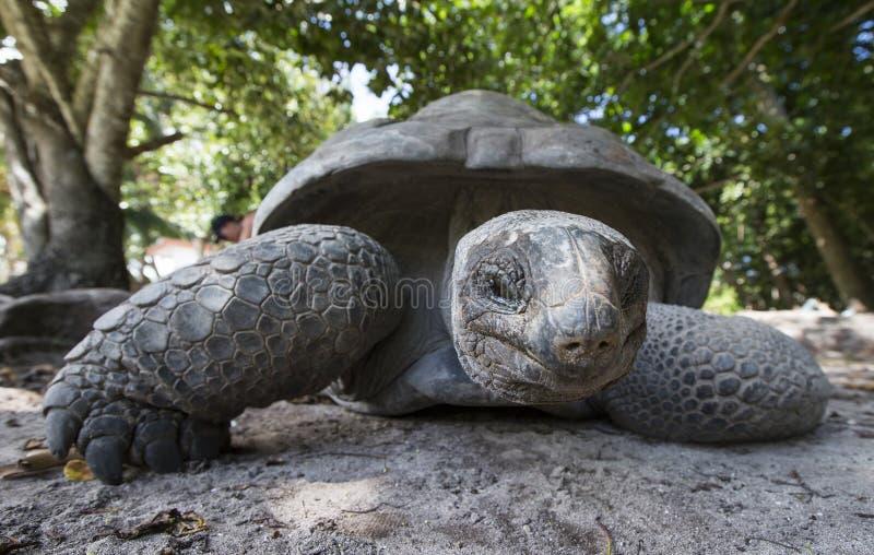 Riesige Schildkröte Aldabra in Seychellen stockfotos