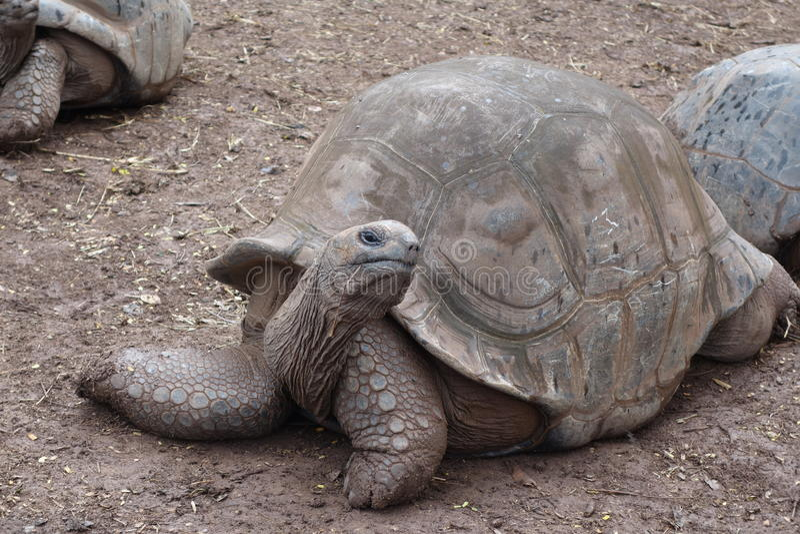 Riesige Schildkröte bei Mauritius stockbild