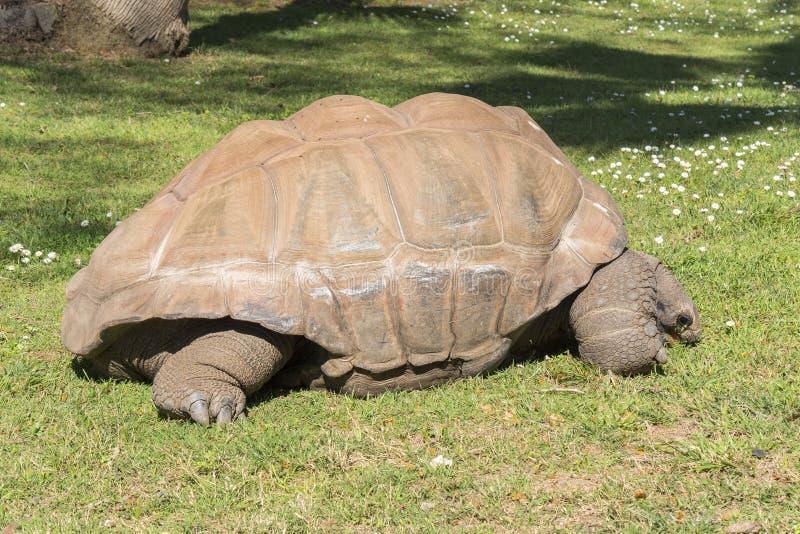 Riesige Schildkröte, die Gras, Schildkröte Aldabra-Riesen isst stockbild