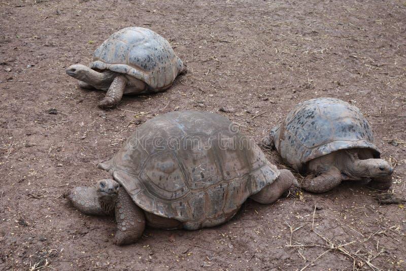 Riesige Schildkröten bei Mauritius lizenzfreie stockfotos