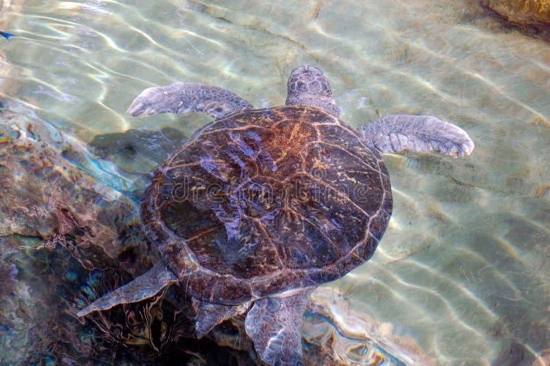 Riesige Schildkröten-Schwimmen lizenzfreie stockbilder