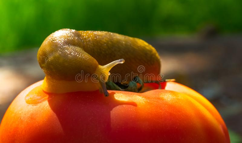 Riesige Schnecke und helle reife Tomate stockbilder