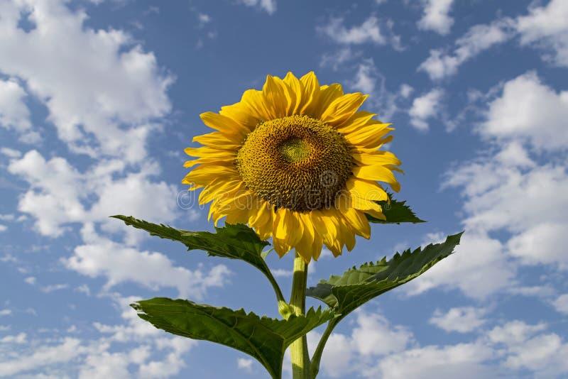 Riesige Sonnenblume, die oben einem blauen Himmel mit Wattebausch-Wolken betrachtet lizenzfreie stockbilder