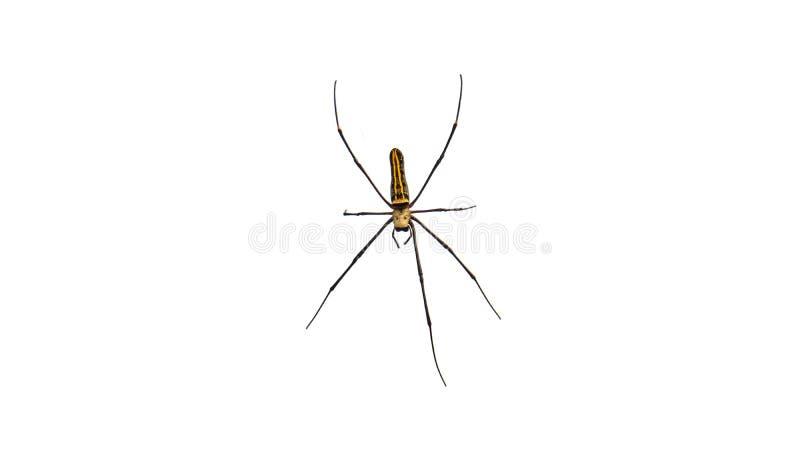 Riesige Spinne, weißer Hintergrund lizenzfreies stockbild