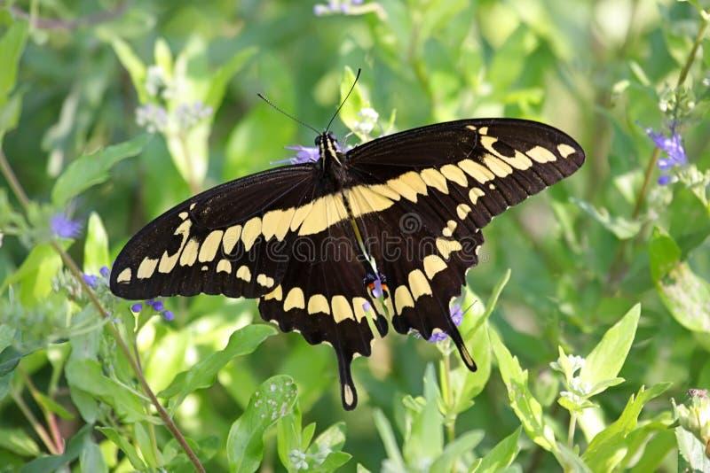 Riesige Swallowtail Basisrecheneinheit (Papilio cresphontes) lizenzfreie stockfotos