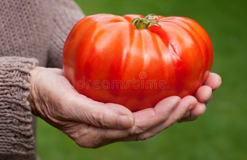 Riesige Tomate stockfotografie