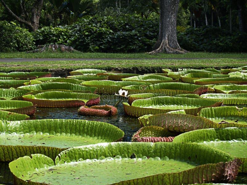 Riesige Wasserlilie stockbild