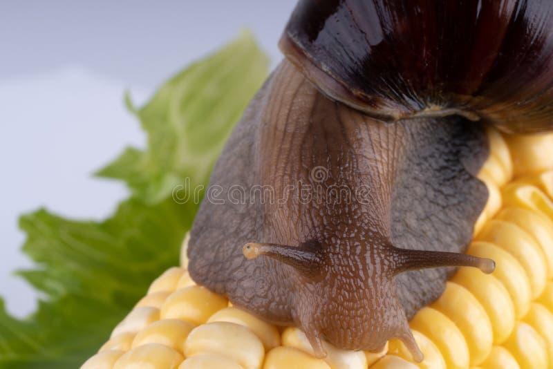 Riesiger afrikanischer Landschnecke Achatina-Fulica, der den Mais, Makro isst stockfotos