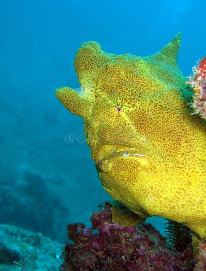 Riesiger Anglerfish lizenzfreie stockfotos