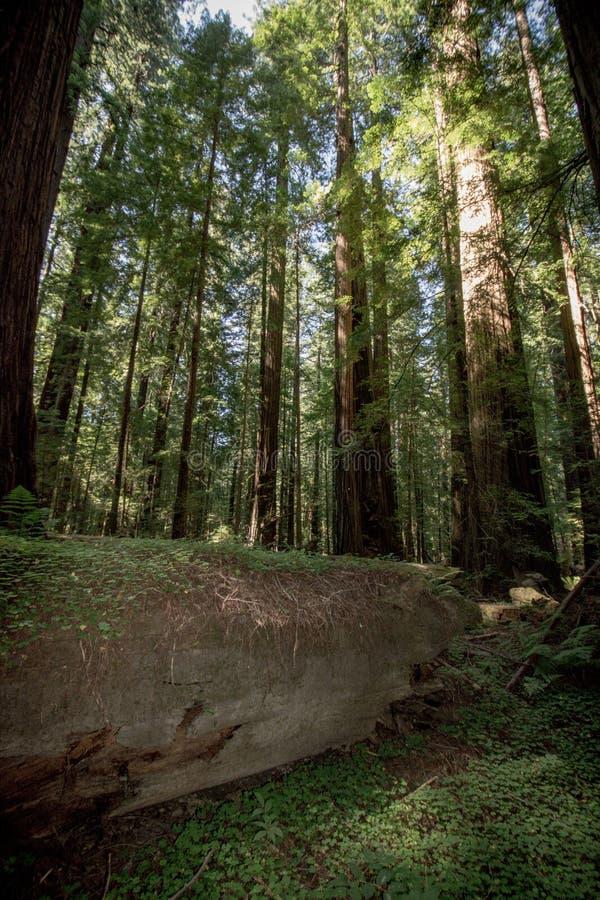 Riesiger Baum-LOGON eine Waldwaldung von Rotholzbäumen im Rotholz-Nationalpark Kalifornien lizenzfreies stockfoto