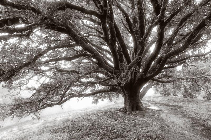 Riesiger Eichen-Baum lizenzfreies stockfoto