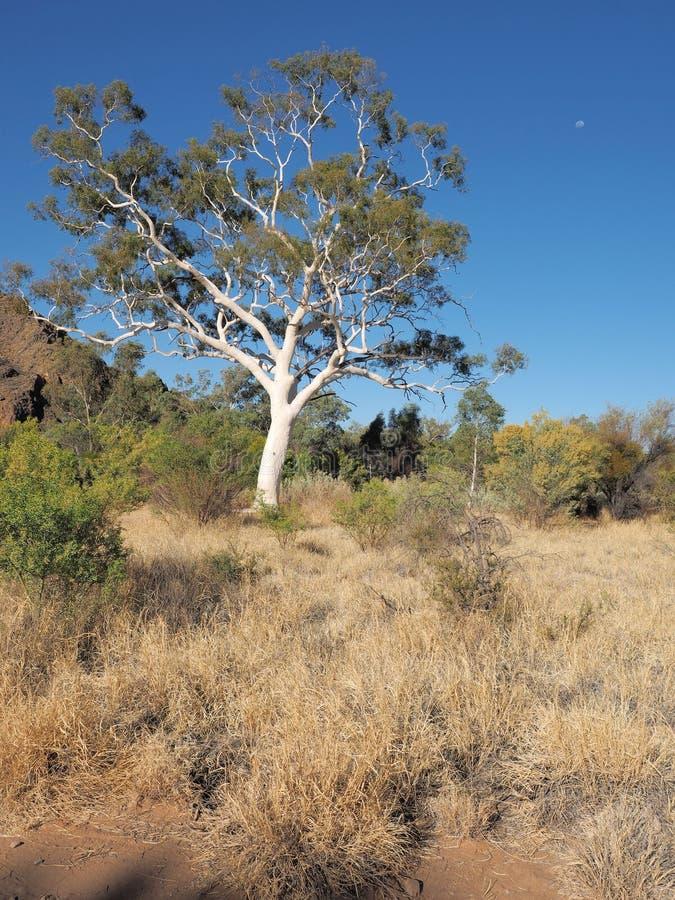 Riesiger Geist-Eukalyptus nahe Trephina-Schlucht stockbild