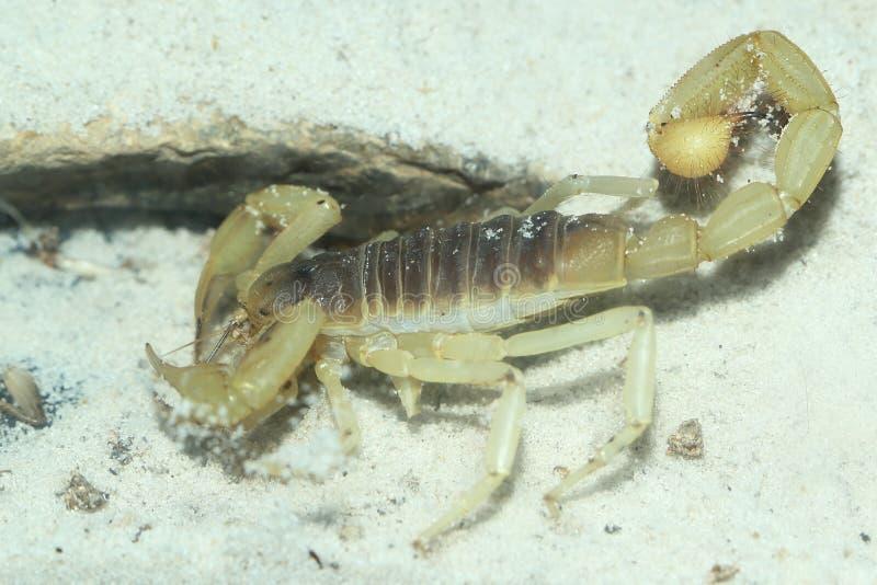 Riesiger haariger Skorpion stockfotos