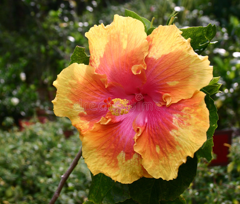 Riesiger Hibiscus lizenzfreie stockfotografie