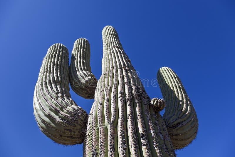 Riesiger Kaktus lizenzfreies stockfoto