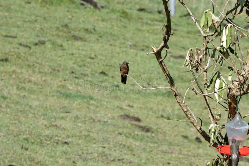 Riesiger Kolibri in ökologischer Reserve Antisana lizenzfreies stockfoto