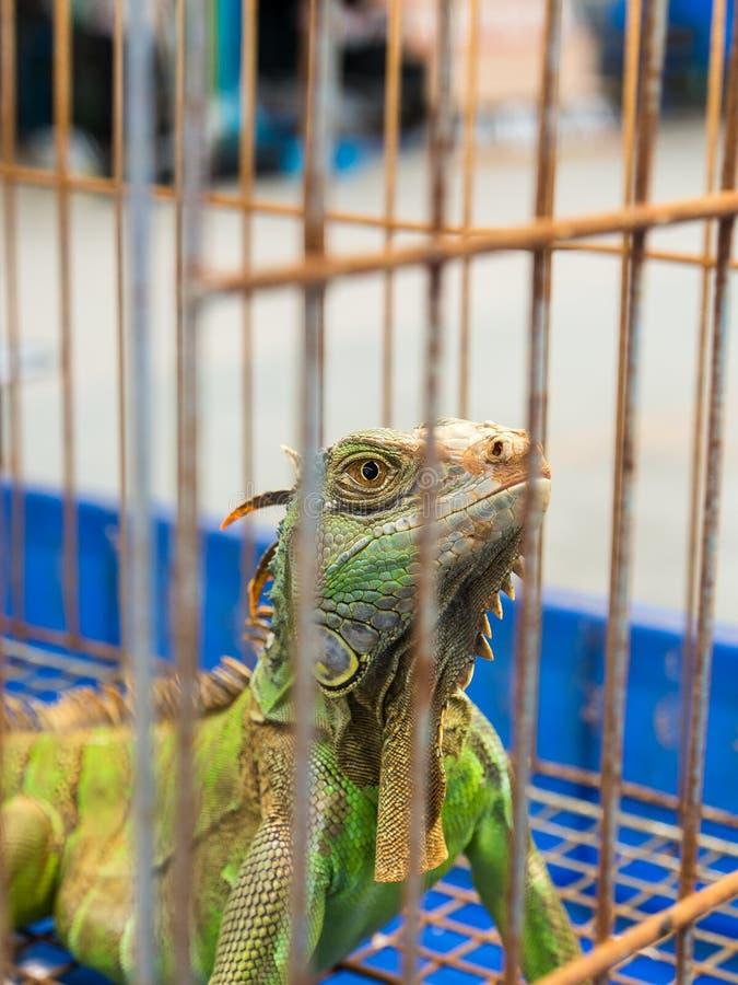 Riesiger Leguan Gila in einem anomal Markt des Käfigs lizenzfreies stockfoto