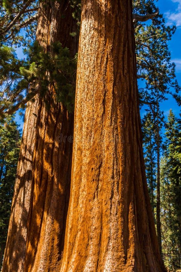 riesiger mammutbaum baum riesiger wald kalifornien usa stockbild bild von kulturen frische. Black Bedroom Furniture Sets. Home Design Ideas
