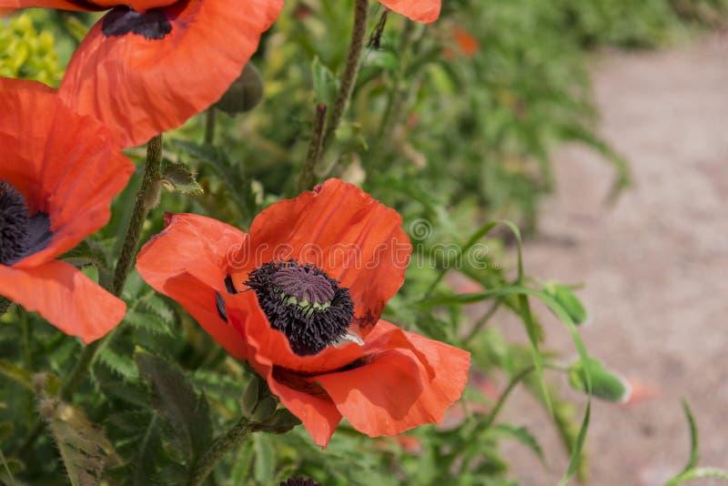 Riesiger Mohnblumenabschluß oben lizenzfreies stockfoto