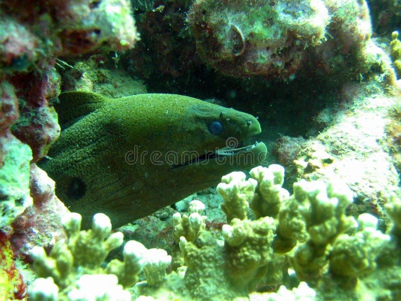 Riesiger Moray-Aal stockfotografie