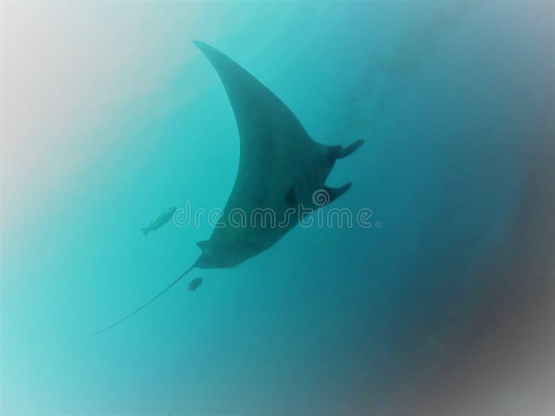 Riesiger ozeanischer Manta-Strahl stockfotos