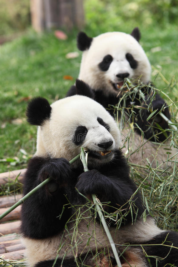 Riesiger Panda lizenzfreie stockbilder