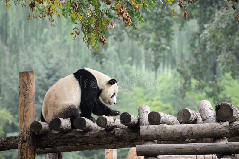Riesiger Panda stockbild