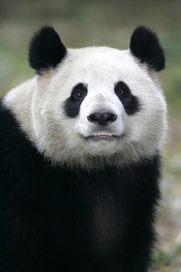 Riesiger Panda stockfotografie