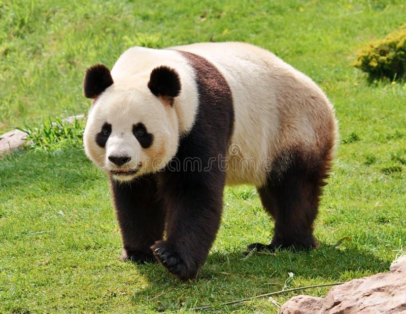 Riesiger Panda stockfoto
